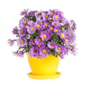 Indian Chrysanthemum Plant